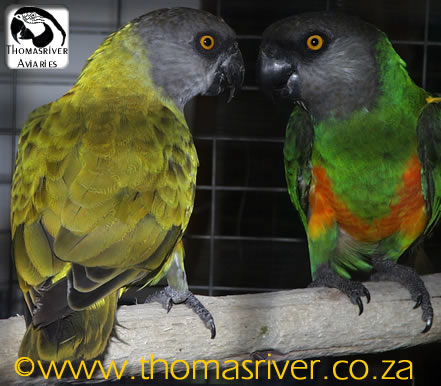 Dilute/faded Senegal Parrot Hen